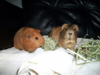 2 young male guinea pigs