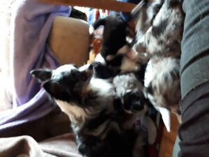 Blue merle long coat female Chihuahua pups