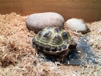 Baby Horsefield tortoise 20 months old Complete with Tortoise Table and All Equipment!
