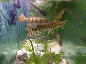 10 inched spotted gar