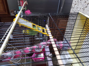Budgie with cage.