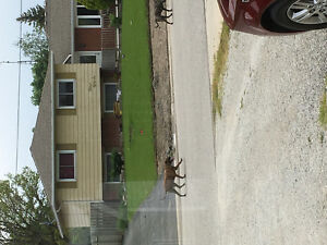 2 Big dogs walking around courtright