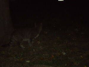 Grey Black Tabby Found Windsor Region Ontario image 4