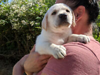 Purebred labrador puppies for sale $1400 | Dogs & Puppies