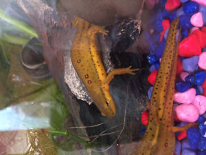 Newts for sale