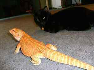 Red Leatherback & Citrus Hypo Bearded Dragons with everything  Peterborough Peterborough Area image 4