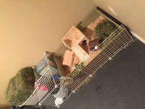 Two male guinea pigs ~ Re-home ~ Twix & Reese