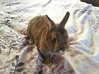 Dwarf Bunny for sale to good home