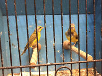 Green singer finches for sale