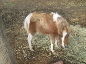 Miniature colt for sale Prince George British Columbia image 1