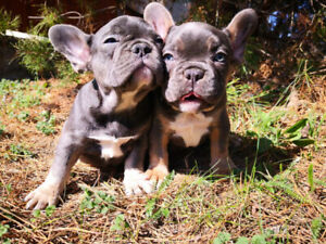 BLUE TAN FRENCH BULLDOGS EUROPEAN BLOODLINE