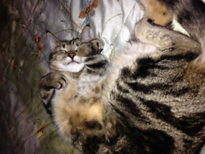 Lost tabby....has been found!....thank you