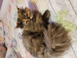 selling one year old Persian