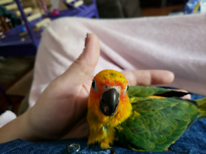 Female sun conure
