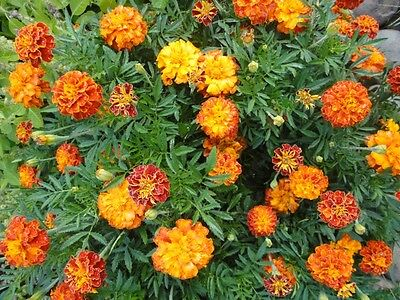 "French Marigold Sparky Mix ""Tagetes"" 100 Seeds"