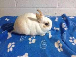 Beautiful Purebreed Netherland Dwarf Male Bunny For Sale