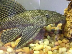 "13"" Common Pleco"