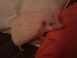 Albino Hedgehog needs a loving home