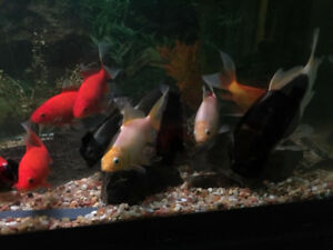 FREE ....NO HOLDS.  Large goldfish 4-6 inches
