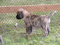 English Mastiff/ Great Dane Puppies are Here!!!