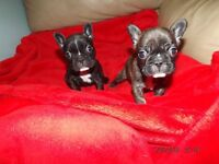 Prestigious French Bulldog Puppies