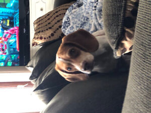 Beagle puppy for sale!