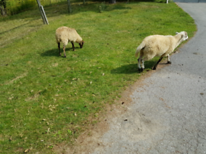 young ewes and rams for sale
