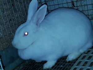 Newzeland White Bunny's for sale,