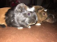 Baby guinepigs