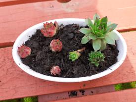 Ceramic pot with succulents