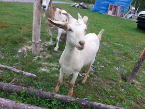 Female Yearling Goat