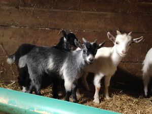 5 Male Pygmy Goat Kids