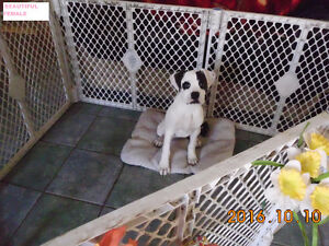 *** GORGEOUS ALL WHITE & BRINDLES BOXERS PUPPIES ***