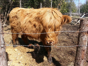 Small Herd of Limo/highland Mix