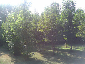 Norway Maples - Only 10 Left