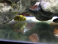 Three green spotted puffer fish and one Porcupine puffer