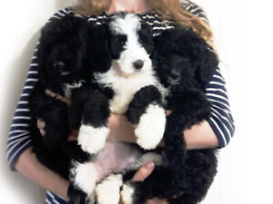 Mini Bernedoodle Puppies - Ready to Come Home!  3 Girls Left