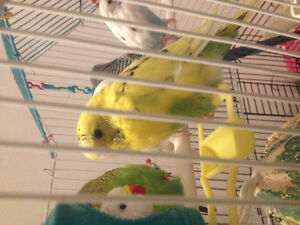 3 budgies for 30, must take all