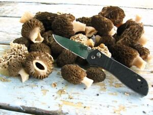 Fresh clean Morel Mushrooms Available now $10/lb, so delicious!