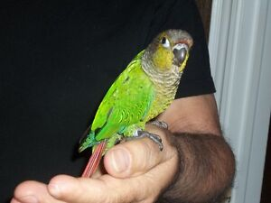 HAND FED AND TAME GREE-CHEEKED CONURE