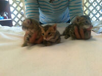 Three bengal boys for sale 800 obo
