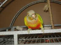 pineapple conure and lovebird
