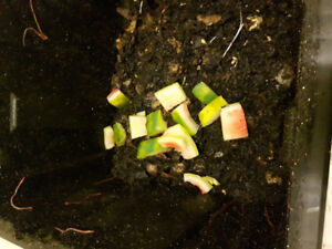 1 lb of compost worms (Red Wigglers)