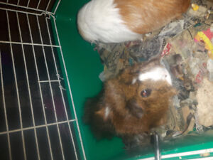 Free female guinea pigs looking for forever home.