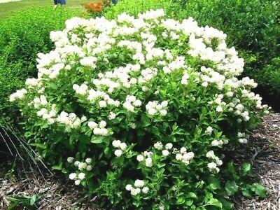 51+NEW JERSEY TEA Seed Organic American Native Shrub/Bush Shade Drought -