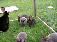 Standard Rex Bunnies for Sale