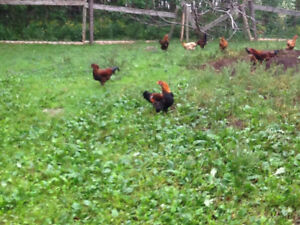 6 Healthy young roosters
