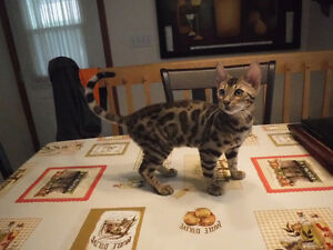 TICA registered top quality purebred Bengal kittens