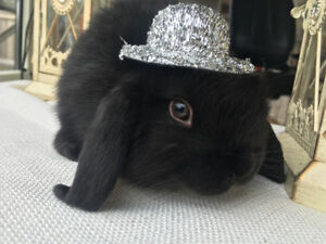 Holland lop rabbits available