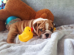English Bulldog Puppies CKC Registered